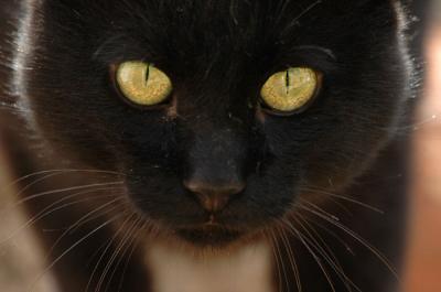 20080311134952-gato-negro-bueno.jpg