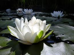 20110821200241-lotos.jpg